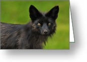 Vulpes Greeting Cards - Silver Fox Greeting Card by Tony Beck
