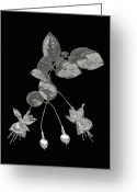 Precious Gem Greeting Cards - Silver Fuchsia Flowers On A Black Background Greeting Card by Mike Hill
