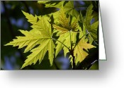 Maple Leaves Greeting Cards - Silver Maple Greeting Card by Ernie Echols