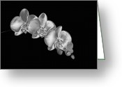 Precious Gem Greeting Cards - Silver Phaelenopsis Orchid On A Black Background Greeting Card by Mike Hill