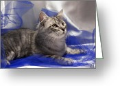 Tulle Greeting Cards - Silver siberian kitty on blue Greeting Card by Raffaella Lunelli