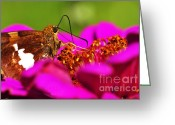 Pollinate Greeting Cards - Silver-spotted Skipper on Zinnia Greeting Card by Thomas R Fletcher