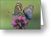 Gossamer Greeting Cards - Silver-studded Blue Plebejus Argus Greeting Card by Rob Reijnen