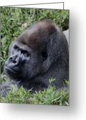 Starring Eyes Greeting Cards - Silverback Gorilla Greeting Card by Brendan Reals