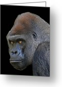 Lowland Greeting Cards - Silverback Lowland Gorilla Greeting Card by Larry Linton