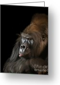 Lowland Greeting Cards - Silverback Western Gorilla Greeting Card by Jay Lethbridge