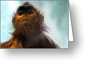 Silvered Leaf Monkey Greeting Cards - Silvered Langur Greeting Card by Laurel Talabere