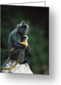 Silvered Leaf Monkey Greeting Cards - Silvered Leaf Monkey And Baby Greeting Card by Cyril Ruoso
