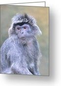 Silvered Leaf Monkey Greeting Cards - Silvered Leaf Monkey Greeting Card by TeeJe