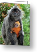 Silvered Leaf Monkey Greeting Cards - Silvered Leaf Monkey Trachypithecus Greeting Card by Thomas Marent
