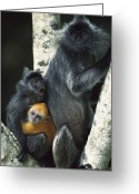 Silvered Leaf Monkey Greeting Cards - Silvered Leaf Monkeys Greeting Card by Cyril Ruoso