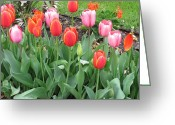 Tulips In The Grass Greeting Cards - Simply Red and Pink Greeting Card by Shawn Hughes
