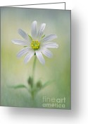 Textured Floral Greeting Cards - Simply Stitchwort Greeting Card by Jacky Parker