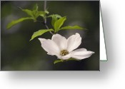 Dogwood Blossom Greeting Cards - Single Dogwood Greeting Card by Sharon Foster
