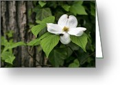 Beautiful Flowering Trees Greeting Cards - Single Greeting Card by JC Findley