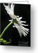White Daisies Greeting Cards - Single Shasta Daisy Flower Greeting Card by Jennie Marie Schell