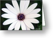 Mother Gift Greeting Cards - Single White Daisy Macro Greeting Card by Zeana Romanovna