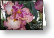 Flower Greeting Card Greeting Cards - Sirina II Greeting Card by Joan Carroll