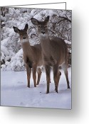Whitetail Deer Greeting Cards - Sisters Greeting Card by Scott Hovind