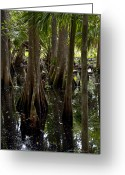 Florida Swamp Greeting Cards - Six Mile Cypress Swamp Florida Greeting Card by Joseph G Holland
