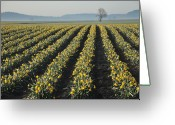 Washington State Greeting Cards - Skagit Valley Daffodils Greeting Card by Dene