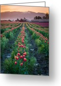 Spring Tulip Greeting Cards - Skagit Valley Magic Greeting Card by Inge Johnsson