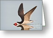 Feeding Greeting Cards - Skimming Away Greeting Card by Susan Candelario