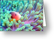 Anemone  Greeting Cards - Skunk Clownfish And Sea Anemone Greeting Card by Takau99