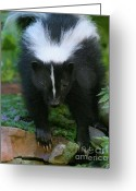 Colorado Creatures Greeting Cards - Skunk With Claws Greeting Card by Crystal Garner