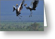Safari Greeting Cards - Sky Dance Greeting Card by Tony Beck