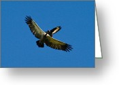 Buzzard Wings Greeting Cards - Sky eyes Greeting Card by Alistair Lyne
