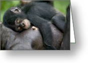 Primates Greeting Cards - Sleeping Baby Chimpanzee Greeting Card by Cyril Ruoso
