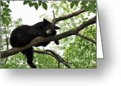 Wildlife Pyrography Greeting Cards - Sleeping Bear Greeting Card by Whispering Feather Gallery
