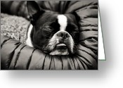 Bull Terrier Greeting Cards - Sleeping Beauty Greeting Card by Justin Albrecht