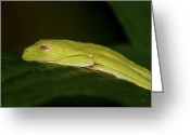 Red Eyed Leaf Frog Greeting Cards - Sleeping Beauty... Greeting Card by Nina Stavlund