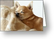 Animal Head Greeting Cards - Sleeping Chihuahua Greeting Card by Tomoaki Takahashi