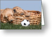 Vet Photo Greeting Cards - Sleeping Puppies in Basket and Toy Ball Greeting Card by Cindy Singleton
