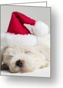 West Highland White Terrier Greeting Cards - Sleeping West Highland Terrier Puppy Wearing Santa Hat, Close Up Greeting Card by Roger Wright