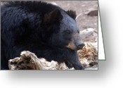 Black Fur Greeting Cards - Sleepy Black Bear Greeting Card by Paul Ward