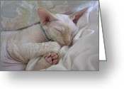 Paws Digital Art Greeting Cards - Sleepy Kitty Greeting Card by Glennis Siverson