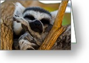 Snout Greeting Cards - Sleepy Lemur Greeting Card by Justin Albrecht
