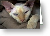 Paws Digital Art Greeting Cards - Sleepy Oliver 1 Greeting Card by Glennis Siverson
