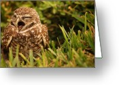 Burrowing Owl Greeting Cards - Sleepy Owl Greeting Card by Mandy Wiltse