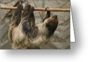 Vertebrate Greeting Cards - Sloth Greeting Card by Ellen Henneke