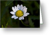 Floral Greeting Cards - Small Daisy Greeting Card by Svetlana Sewell
