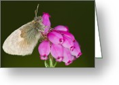 Gabor Pozsgai Greeting Cards - Small Heath Coenonympha pamphilus Greeting Card by Gabor Pozsgai