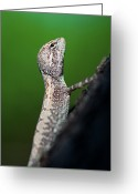 Wild Lizard Greeting Cards - Small Lizard Greeting Card by Xavier Hoenner Photography