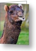 B.c Greeting Cards - Smiling Camel Greeting Card by David  Naman