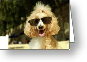 Poodle Greeting Cards - Smiling Poodle Wearing Sunglasses On Beach Greeting Card by Stephanie Graf-Vocat - SGV Photography