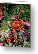 Photographic Art Greeting Cards - Snapdragons Greeting Card by Rona Black